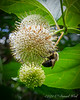 Bumbly bee on cephalanthus