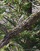 Male redbellied woodpecker on black walnut.