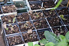 Hepaticas.  Totally hardy but I left them to establish root on the cold greenhouse floor and bingo.......