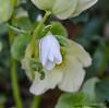 Helleborus niger hyb by N walk