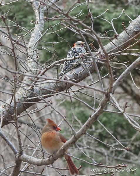 Female cardinal, (hairy?) woodpecker in Tai-haku cherry