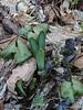 Lycoris sprengeri and mottled leaf Ficaria verna coming up NE of g.room