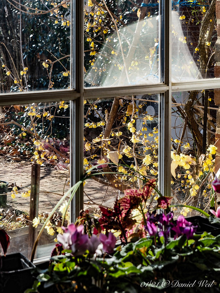 Looking out guest room window at golden Chimonanthus