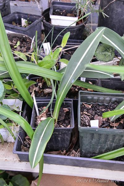 Striped amaryllis ex Putnam Hill Nursery....