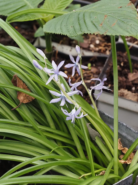 Scilla hohenackeri ex G.G. - hardy, don't ask me why it's in g'house.