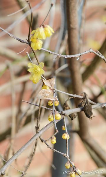Golden Chimonanthus, @ south door