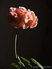 Salmon pink geranium, Dan's study