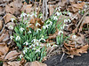 Snowdrops by large arbor.   Due to get dug up and planted out as onesies this spring.
