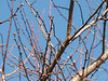 Prunus mume 'Nicholas' ex Tom K.