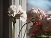 My favorite, almost-white pink geranium...