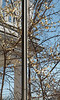 Chimonanthus outside library link, easily 15' tall