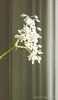 Huge begonia, library link