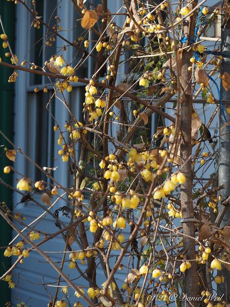 Golden Chimonanthus outside guest room.