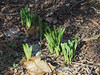 Lycoris emerging, Crater bed