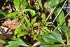 One brave Helleborus x hybridus coming into bud.... hellebore alley
