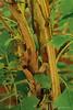 Older oakleaf hydrangea stem