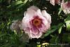 "Tree peony ex Putnam Hill. Slight rockii-type ""flare"" at base of petals"