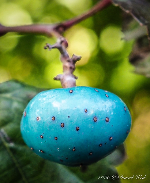 Arctic tomatoes.  The blue only happens when it ripens sub-freezing.  Seriously, guess what it is.   Answer is at the end of the gallery.