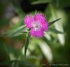 Dianthus ex Marianne W
