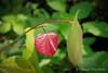 Emerging redbud leaf