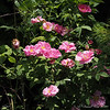 Rose still in pot, dianthus