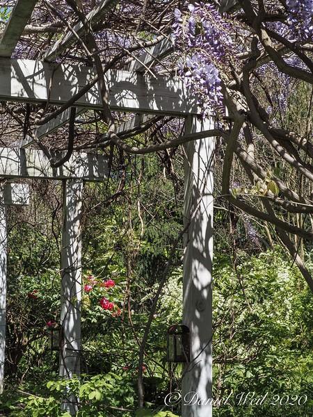 Wisteria arbor, tree peonies, snow wreath