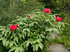 Tree peony N side North Forty bed