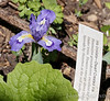 Iris cristata, duhh.  N of guest room