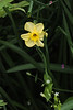 Small narcissus, N alley (?)