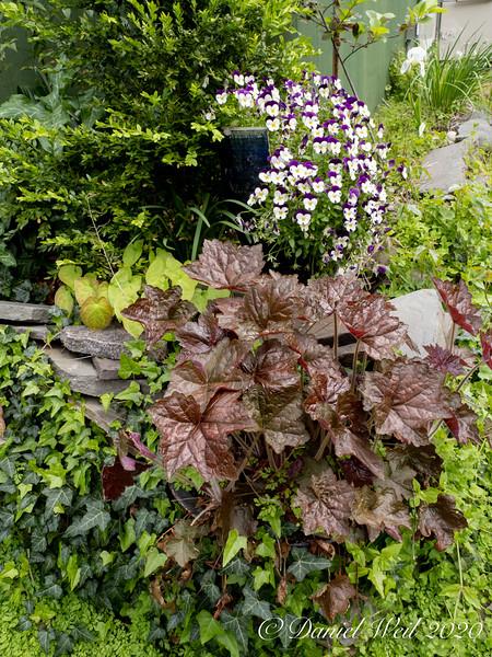 SW corner g'house; Heuchera, viola pot, box, ivy