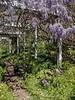 Wisteria arbor, Spotty Dotty, woods hyacinths