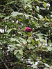 Climbing roses 20' up magnolia and Prunus mume trees