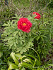 Tree peony S of library.  Note herbaceous peony coming up; to remove