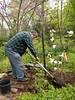 Planting magnolia 'Cosmic Gem', E side of Shade Room