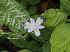 L-R Arum italicum, Iris japonica flr, Deinanthe