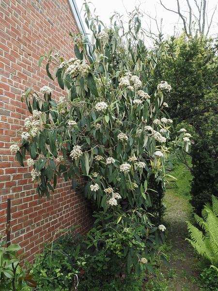 Varieg. leatherleaf viburnum, need to rogue out green