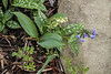 Lily of valley, Pulmonaria