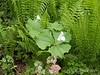 Trillium grandiflorum, Dan's studio garden