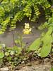 Epimedium, Dan's studio garden