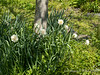 Daffodils, Shade Room