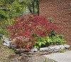 By garage door; maple, hellebore, hosta, Fall anemone, epimedium