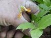 Spring pea (Lathyrus aureus) , courtyard