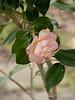 Faded camellia, Dan's studio