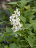 Dbl white lilac, 340 bed