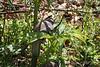 Arisaema thunbergii ssp urashima, courtyard