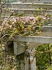 Clematis montana cv