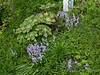 Spotty Dotty, woods hyacinth, weeds, tiger lily