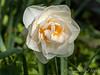 Daffodil, Shade Room