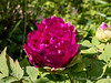 "Tree peony, ""Hechinger's Purple"" (our name)"