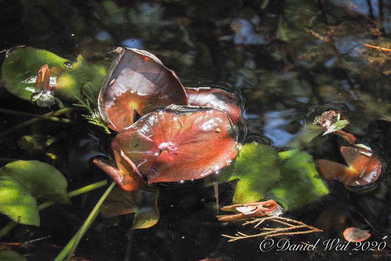 North pond, emerging water lily leaves